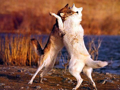 2wolves.jpeg