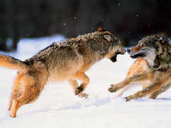 Wolves+fighting+pictures